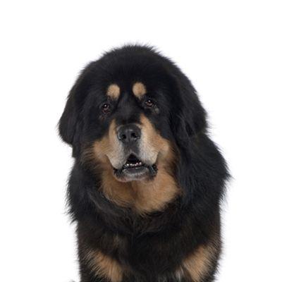 Yourdog Tibetaanse Mastiff Pup 12 Kg