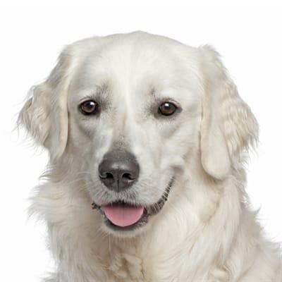 Yourdog Kuvasz Pup 12 Kg